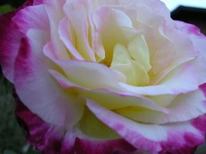 yellowredrose