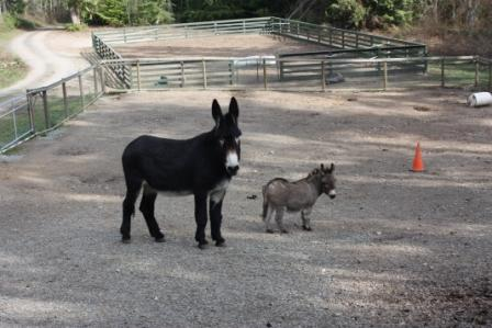 Why Does My Donkey Have Bald Spots?