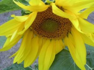 sunflower2003