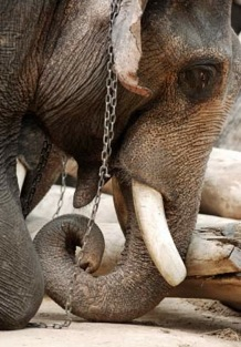EA Site Asian Elephant in misery