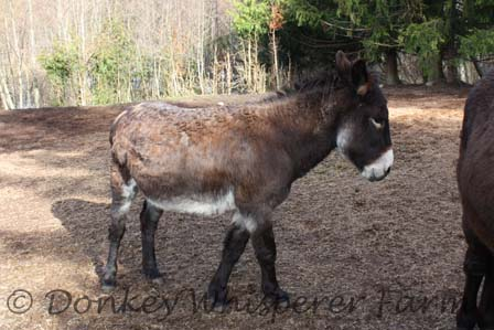What Is The Weight Limit To Ride A Mini Donkey? | Donkey Whisperer