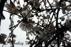 CHERRYTREEMARCH2012