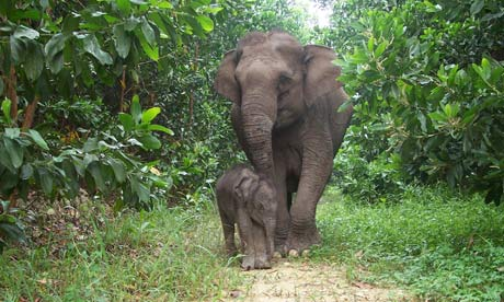 EA Site Sumatran elephant calf and its mother