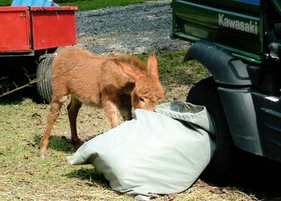 babydonkeywrestling hay