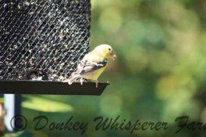 yellowfinch1