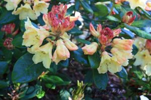 yellowrhodie