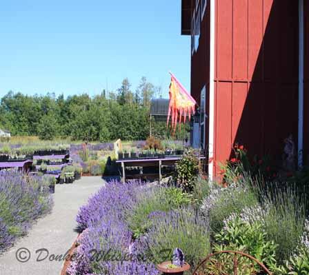 lavendarfarm2013