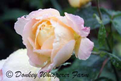 roses22222