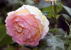 rosess22