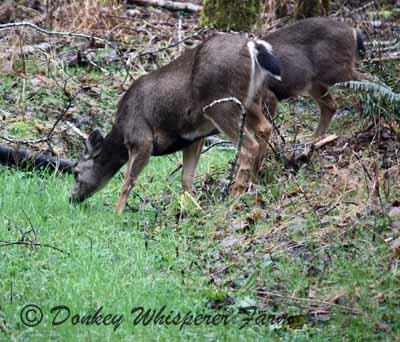 deer26