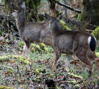 deer2whitetale
