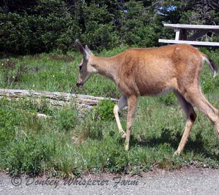 deer38