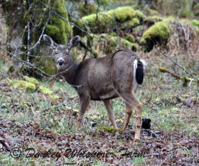 deerwhitealelookingatus