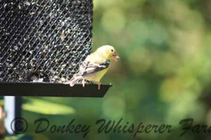 yellowfinch1