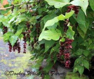 Weeping honeysuckle plant
