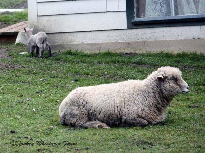 sheepbabysequim