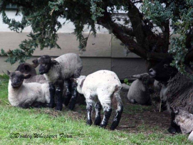 sheepfamily3