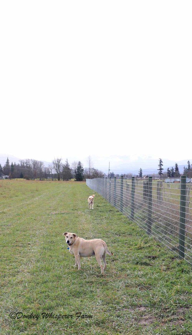 dogsfencenov2013walking
