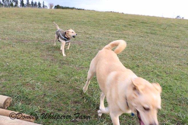 dogsplayinglandnov2013