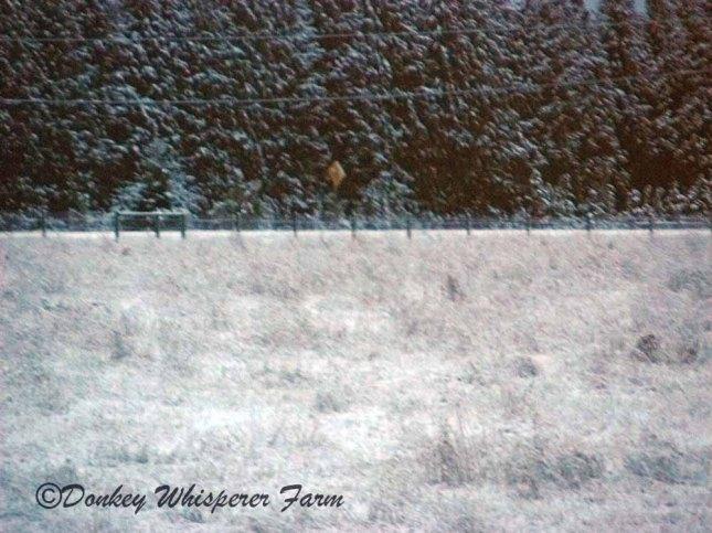 snowsequimfarmgodsland2013
