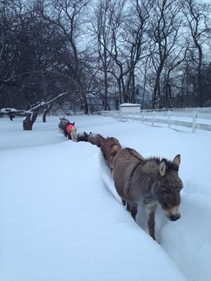 DonkeysSNOWsarapushalr