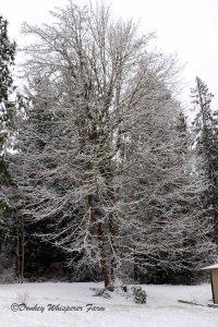 gardenmapletreesnow2014