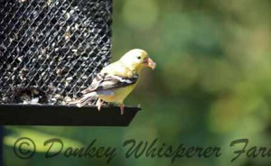 Golden finch in our garden