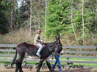 Aubree riding Rio our 16'2 hand Mammoth donkey