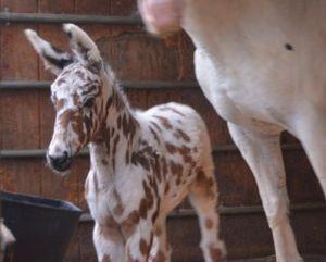 Cute mule