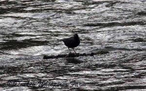 Dungenessriverbird2014march