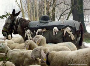 lambsdonkeys
