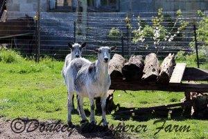 goatsneighbors2014