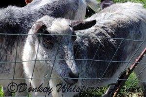 goatssssbestshotneighbor2014april