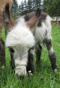 mini donkey photo