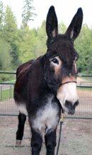 Spring Arrives On The Donkey Whisperer Farm,WA