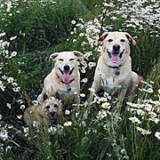 dogsindaisys2014MAY25