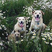 dogsindaisys2014MAY25