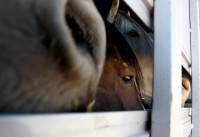 BLM horses unloading at Mexican slaughterhouse(Video)