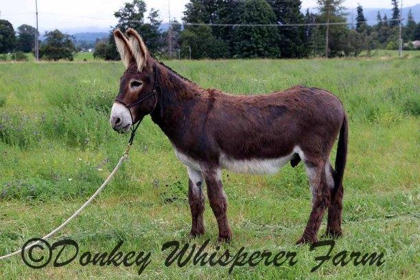 Oboe Our New Gelding Donkey Acts Like A Jack | Donkey Whisperer Farm ®