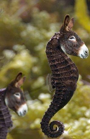 seadonkeys