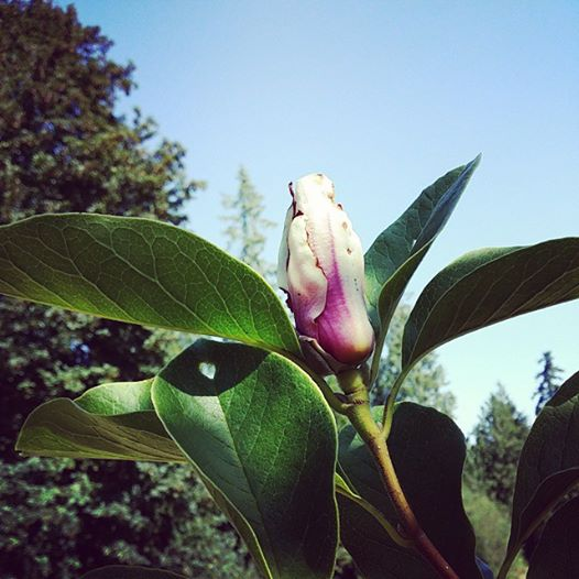 Magnolia tree double bloom year