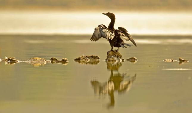 Little Cormorant by Brinda Suresh - RAXA Collective