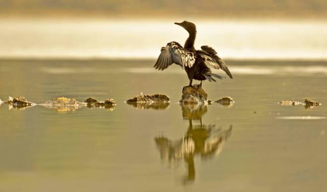 Little Cormorant by Brinda Suresh - RAXA Collective