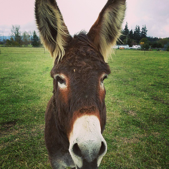 What Does It Mean When A Donkey Brays Donkey Whisperer Farm Blog