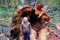 Hoh Rain Forest 2015 BIG SPRUCE TREEDIES