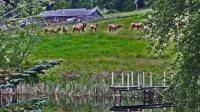 The Elk In Sequim,WA