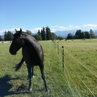 Miss Trophy saddlebred mare in training age 7