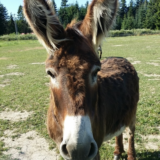 Oboe the standard rescue donkey too much wind mom my ears can fly