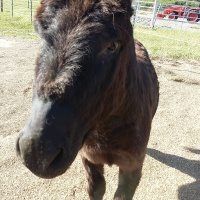 Maximus age 3 my naughty little donkey in training. He is a huge extrovert will be an amazing jumping donkey.