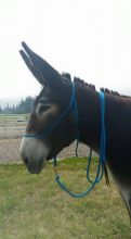 DONKEY ROPE HALTERS FORSALE
